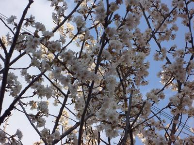 2011 隣の桜.jpg